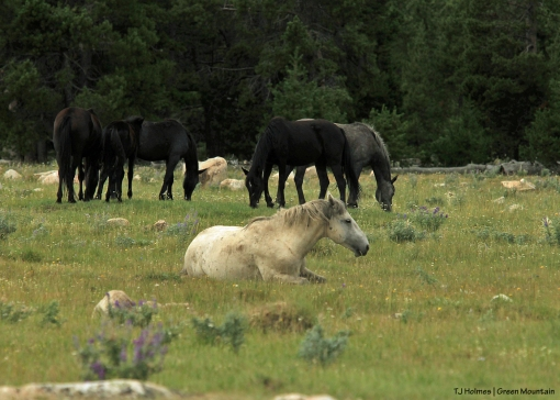 Grey stallion with big band on Green Mountain, Wyoming.
