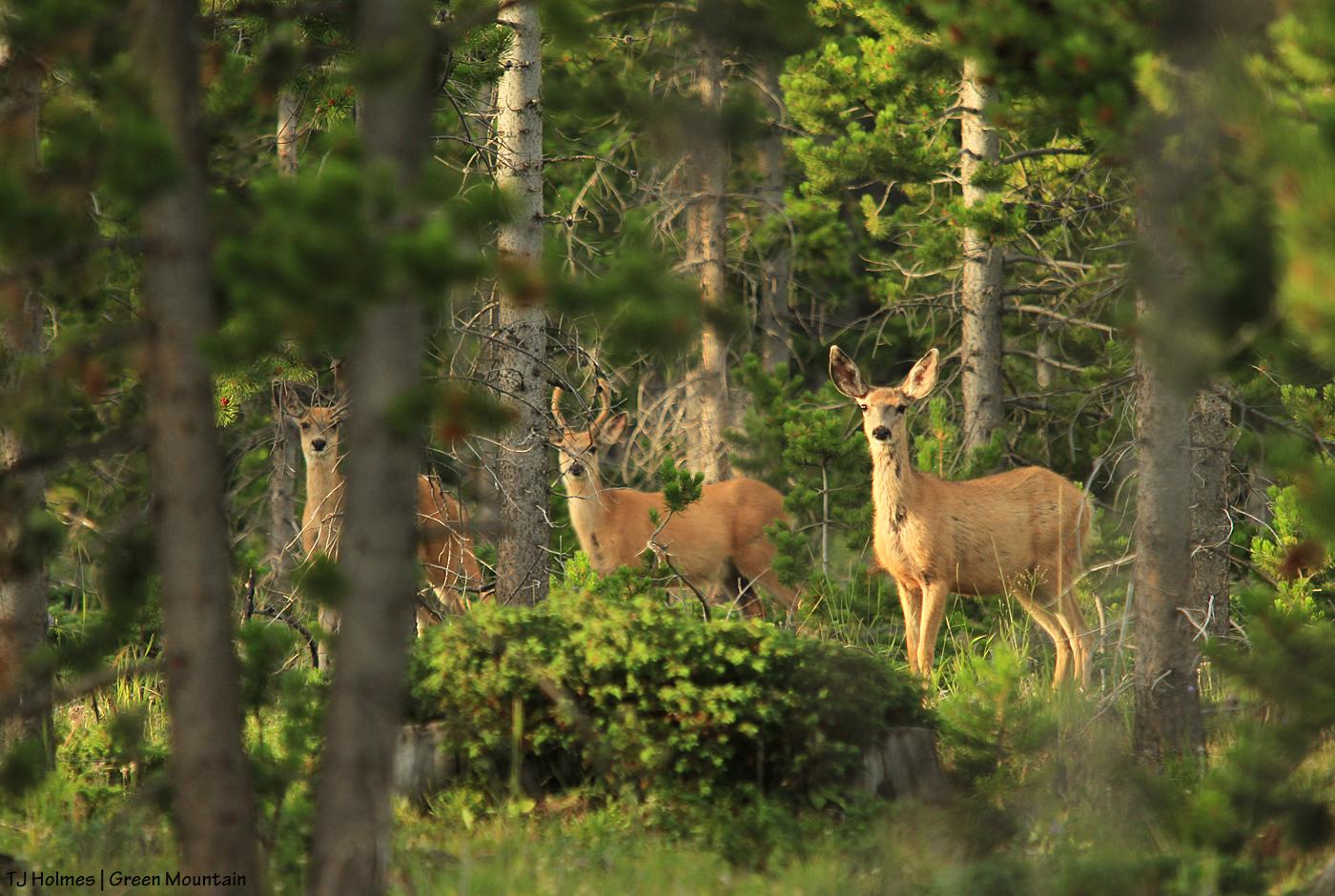 Mule deer on Green Mountain, Wyoming.