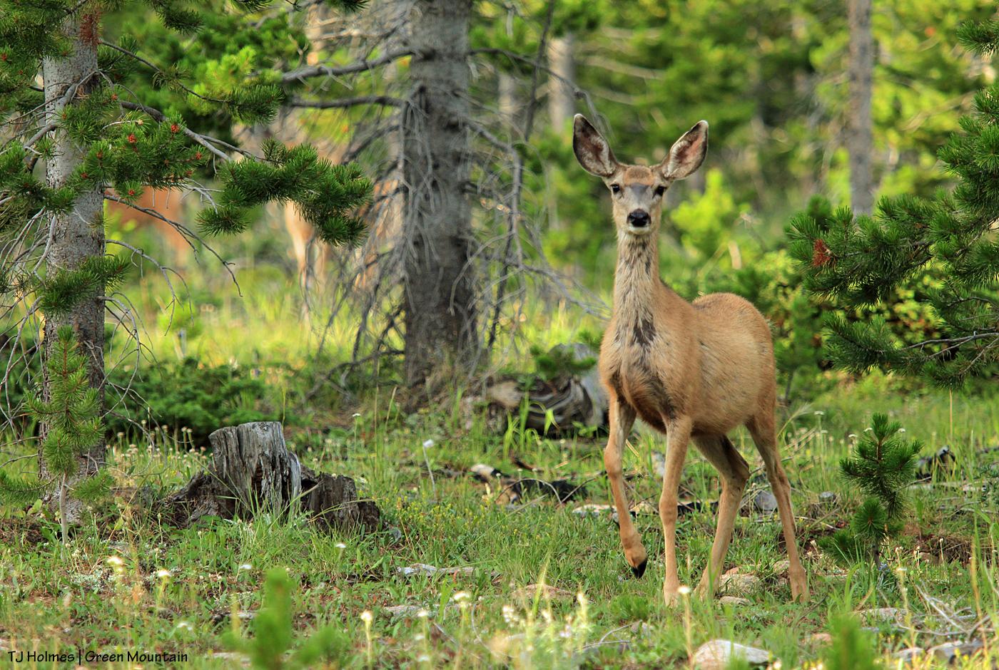 Mule deer doe on Green Mountain, Wyoming.