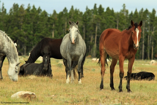 Grey stallion's band on Green Mountain, Wyoming.
