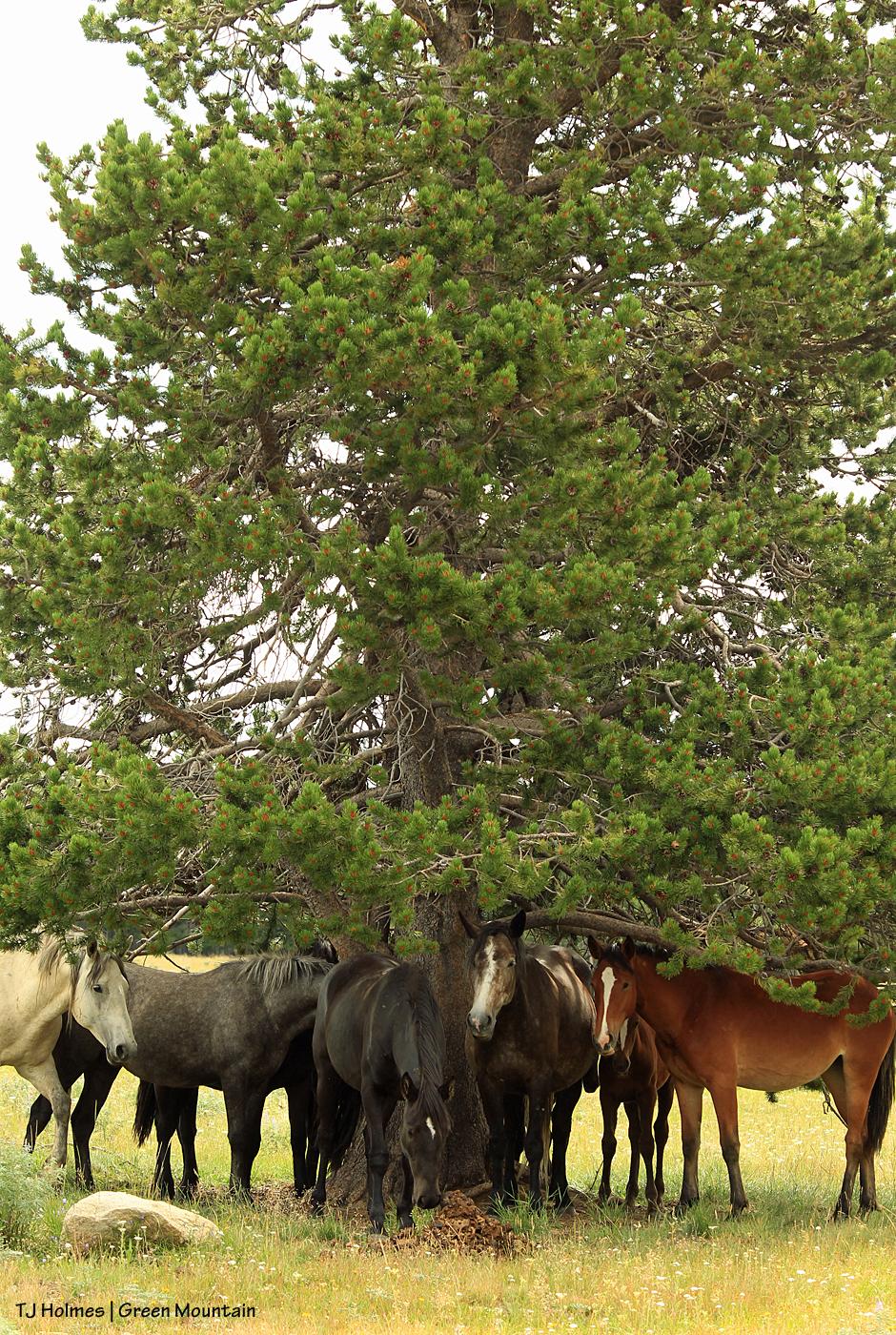 Grey stallion's band on Green Mountain, Wyoming.