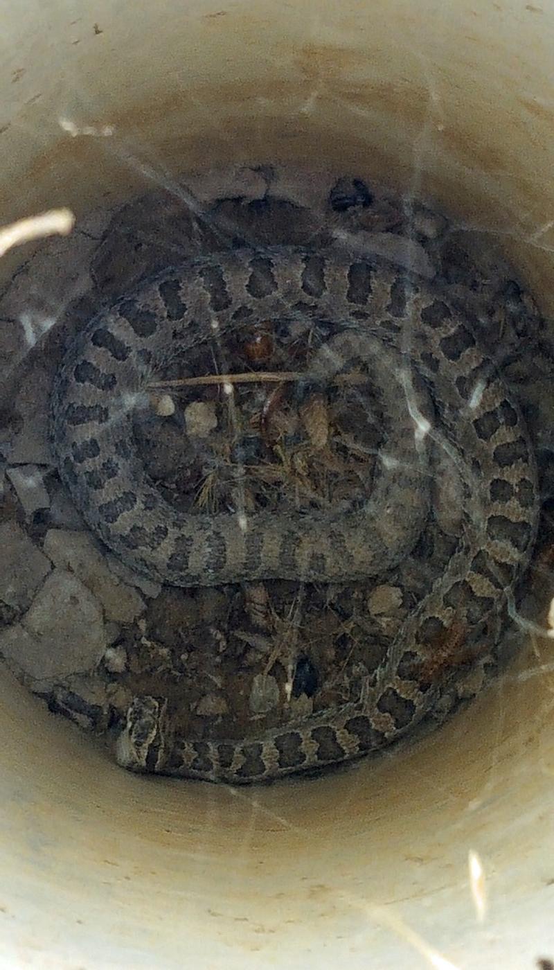091119rattlesnake4