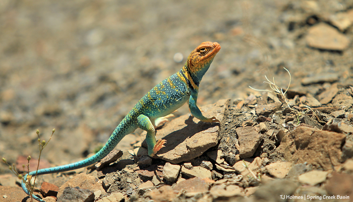 051620collaredlizard1